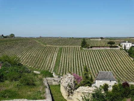 Vineyards behind fortress Chinon