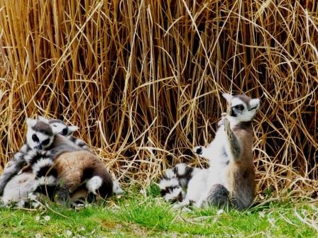lemurs at Haute Touche safari park