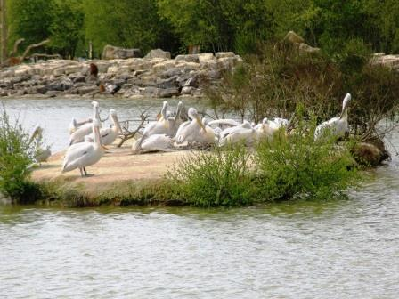 pelicans at Haute Touche safari park