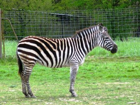 zebra at Haute Touche safari park