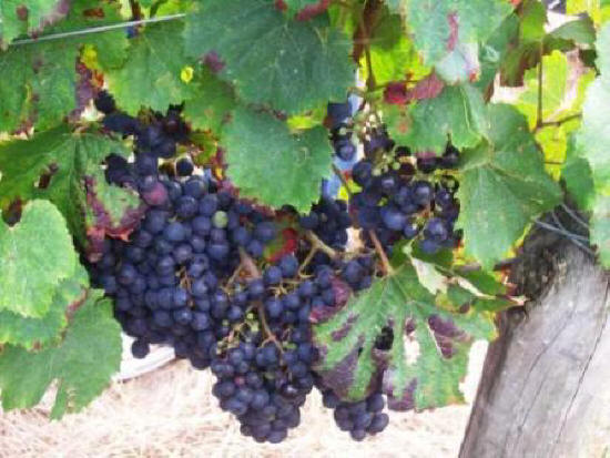 grapes on a vine near Chinon in the Loire Valley