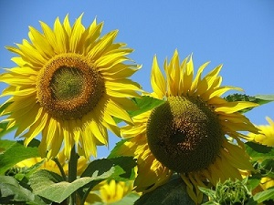 Loire Valley sunflowers a product of the weather